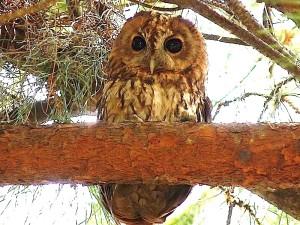 tawny-owl1-300x225